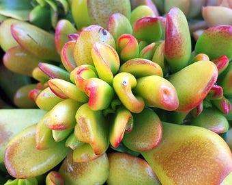 Crassula Ovata Hobbit/Succulent plant/succulents/indoor plant/succulent arrangement/live plants/cactus/succulent wedding