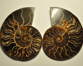 Unique Massive Split Ammonite Fossil Specimen Shell Healing Madagascar 1 pair 114x92x13 mm. 344 g. F5