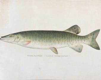 c.1900 Antique Mascalonge Fish Colored Lithograph Print Holiday Gift!