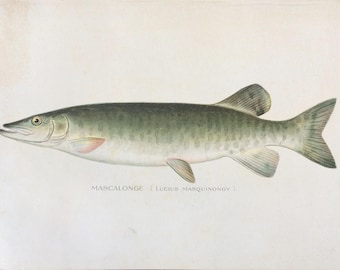 c.1900 Antique Mascalonge Fish Colored Lithograph Print Valentine Gift!