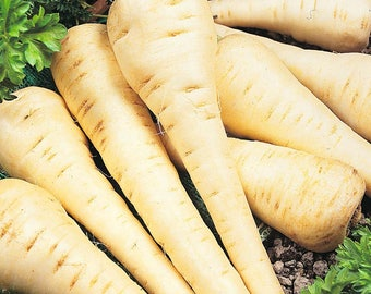 BULK: PARSNIP *200 Seeds* Vegetable Garden - Fresh Quality Seed & High Germination
