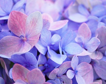 Blue and Purple Hydrangea Flowers Cheap Download