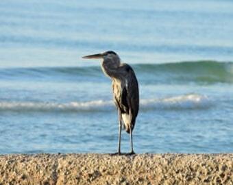 Great Blue Heron Framed Original Photograph 8 x 10 (Free Shipping!)