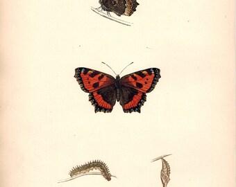 1891 Small Tortoise-Shell Butterfly - Original Antique Print - Morris - Antique Decor - Butterfly Print - Morris Butterflies - Morris Print