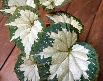 100pcs/bag Begonia seeds bonsai flower seeds looks like coleus seed so rare flowers begonia plants for home garden 9