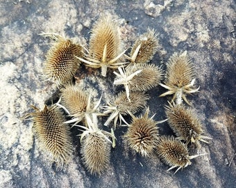 Dried Teasel Seed Heads, Dried Wildflowers, Fall Flowers, Dried Flower Bouquet, Flower Potpourri, Dipsacus