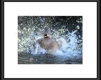 Splish Splash, Photography, Free Shipping, Print, Framed Print, Canvas Wrap, Canvas with Framed Print, Duckling, Wall Art, Home Decor, Natur