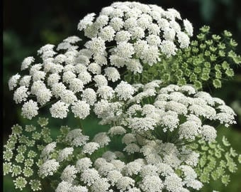 5000 Seeds Ammi majus Seeds, Bishop Flower Seeds
