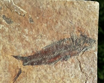 Fossil Fish from the Green River, Fish in matrix