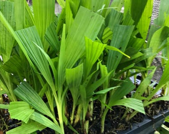 Ground Orchid - Spathoglottis plicata LIVE PLANT easy to grow