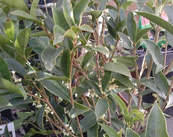 Sweet Olive (Osmanthus Fragrans) Live plants 2 Feet or Taller