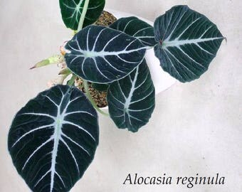40+++ BLACK VELVETseeds Alocasia reginula JEWEL of SABAH Elephant Ear