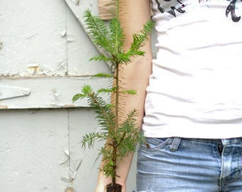 Pine / Spruce / Fir Trees - Assorted Varieties - 5 to 15+ inches (See State Restrictions)