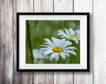 Wild Daisy Flower Wall Art Print -- Fine Art landscape photography, nature,  Home Decor, HeatherRobersonPhoto