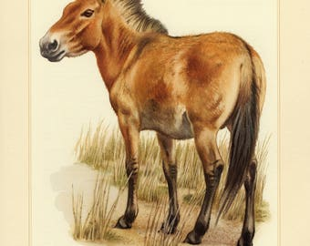 Vintage lithograph of the Przewalski's horse from 1956