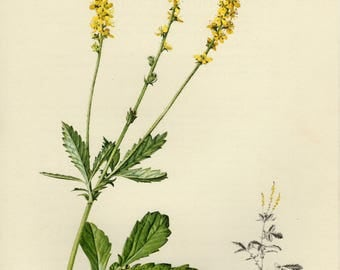 Vintage lithograph of the common agrimony, church steeples or sticklewort from 1955