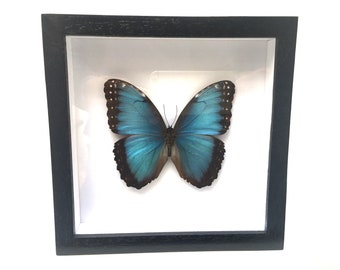 Superb Morpho Helenor Butterfly/Insect/Taxidermy/Lepidoptera.