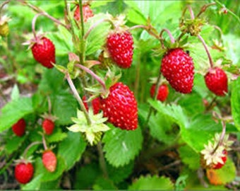 100x Seeds Wild Strawberries - Baron Solemakher Organic Natural Heirloom Seed- Wild fruits are always tastier