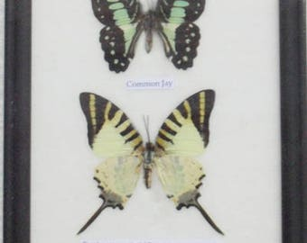 REAL 4 Frame Butterfly Wall Hanging Collection Taxidermy In framed / B04D