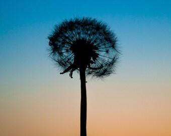 Dandelion Silhouete Sunset