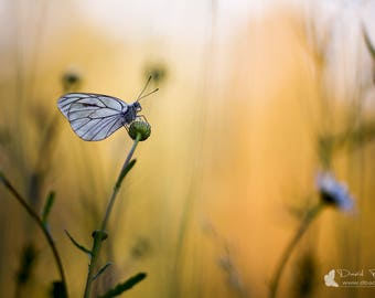 "Photography Art original ""Deserved rest"" - butterfly picture, gauze, flower, Daisy"