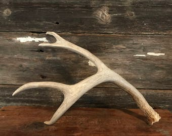 Large Deer Antler Naturally Shed - Unique and one of a kind