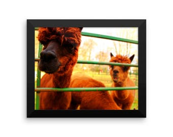 Framed Alpaca-themed photo paper poster