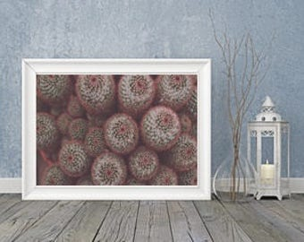 Fine art photography digital Print Pincushion Cactus