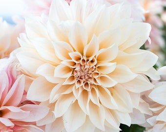 Flower Photograph, Baby Pink and Cream Dahlia Cafe au Lait, Autumn Flower, Wall Decor, Pink wall art, nature photo, office art, bathroom art