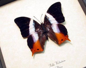 Palla Violintins Stunning African Swallowtail Real Framed Butterfly 298