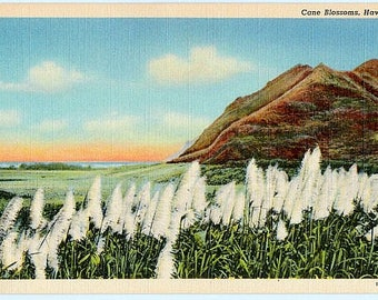 Vintage Hawaii Postcard - Sugar Cane Blossoms (Unused)