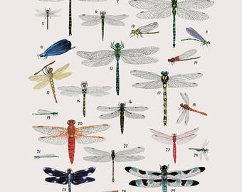 Creatures of the order Odonata - vintage inspired science poster by Kelsey Oseid