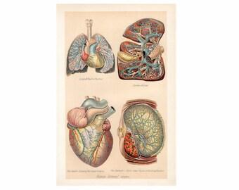 1903 HUMAN INTERNAL ORGANS print - antique lithograph - original antique print - human anatomy print - heart lungs stomach - medical print