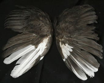 Black and White Wings: Real Dried Wings, Non-Toxic - gallus gallus domesticus  CH063