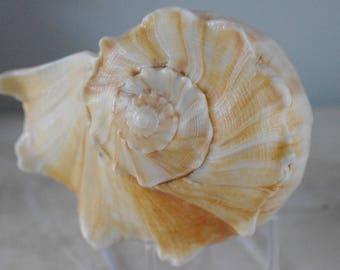 Golden Whelk Seashell - Conch Shell - Beach Decor