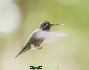 Hummingbird photography, bird photography, nature photography, wildlife photograph, tiny bird print, nature wall decor, bird wall art