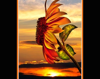 SUNFLOWER SUNSET,(Ph-Art),Sunflower,Sunset,Flower,Peaceful,Tranquil,Beautiful,Colorful,Calm,Natural,Nature
