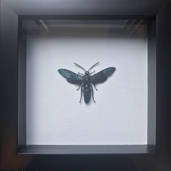 Real beautiful indonesian wasp taxidermy display!