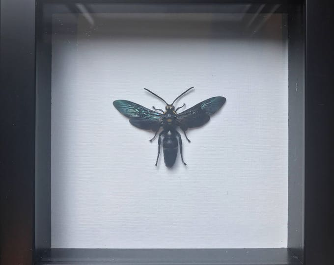 Real beautiful indonesian wasp taxidermy display!