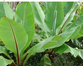 5 Seeds Ensete superbum Cliff Banana Fast Growing Tropical Beauty Very RARE! Container Standard or Near water gardens Zone 9+ Deck Plant