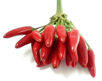 HOT PEPPER Serrano, Mexican Heirloom 15+seeds