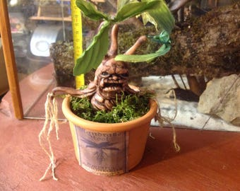 Mandrake in pot