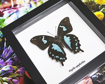 Butterfly Real taxidermy framed Papilio oribazus in shadowbox BAPO
