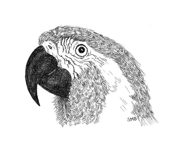 Sally Blanchard Pen and Ink Portrait Drawing of a Blue-throat Macaw on acid free paper - one of a kind