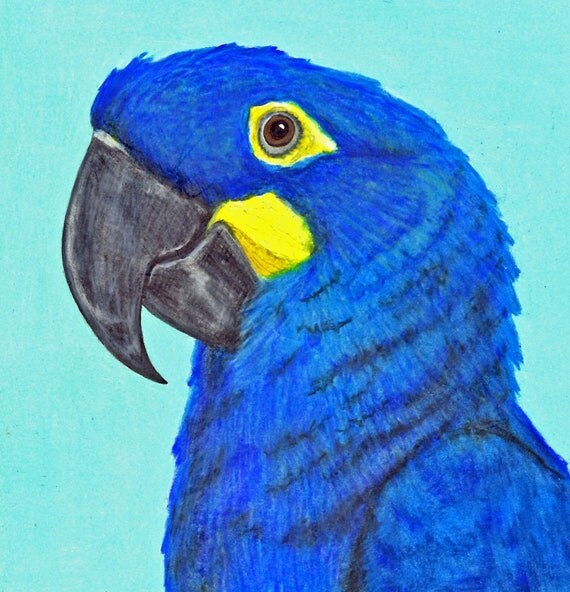 Sally Blanchard's Original Prismacolor Pencil Portrait of a Lear's Macaw - one of a kind