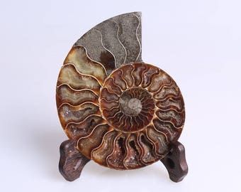 Split Ammonite Fossil Specimen Shell Healing Madagascar+Free Stand J517L