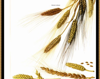 "Wheat Illustrated by Marilena Pistoria for the book Fruits of the Earth. The page is approx. 8"" by 11 1/2"""