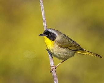 Common Yellowthroat Warbler - Bird Photo Print