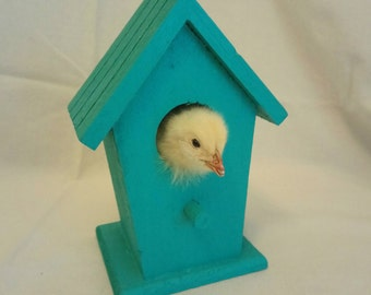 Bird House Chick - Taxidermy, Chick Nest Head Mount in Teal Green Wooden Bird House / Bird Box