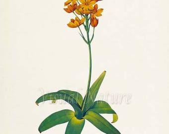 Star of Bethlehem Flower Art Print, Sun Star Botanical Art Print, Flower Wall Art, Flower, Floral Print, Redoute,orange, Ornithogalum dubium